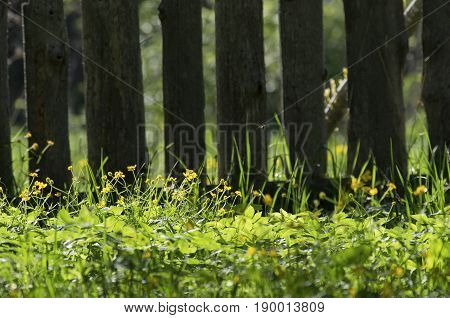 The buttercups blossoming among a grass and lit with the evening sun on background of a board fence