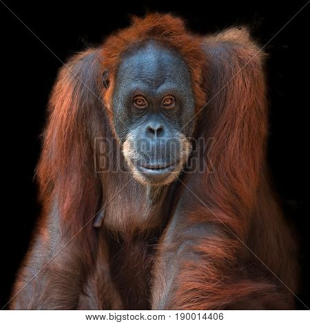 Portrait Of Asian Orangutan On Black Background