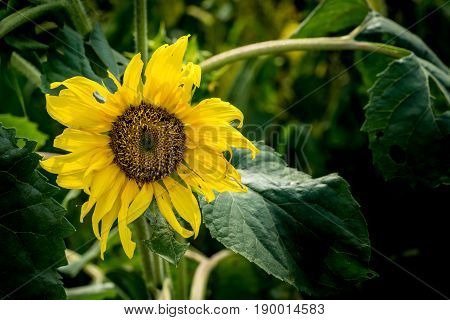 Withered yellow sunflower on green leaves background