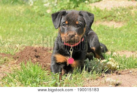 Closeup photo on a Rottweiler puppy lying down, full of dirt in her nose after digging in the ground