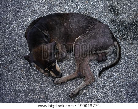 poor mang brown dog skin disease leprous stray in rod