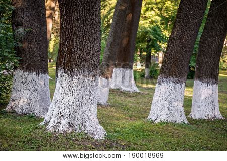 Natural Background. Trunks Of Large Trees On The Whole Frame. Horizontal Frame