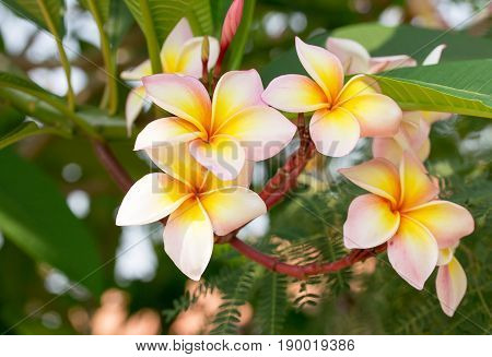 Group of Tropical flowers frangipani (Frangipani Plumeria) on a sunny day with natural background