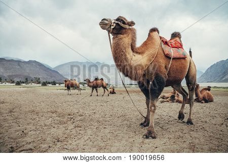 Two-humped camels in thew desert of Nubra Valley, India