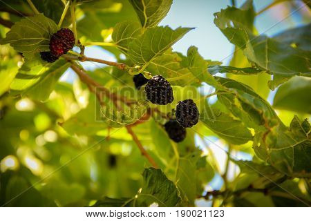 Fresh black mulberry , black ripe mulberries on the branch. Close up shot