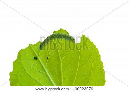 catapillar Worms eat leaves isolated on white background.
