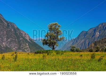 Lonely tree in mountains. Altai Russia