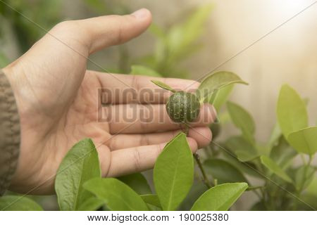 Biotechnology scientist hand holding orange leaf for examining plant disease.