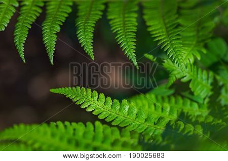 Beautiful colorful bright green fern leaves background. Exotic fern frond leaf texture in the forest close up, macro view.