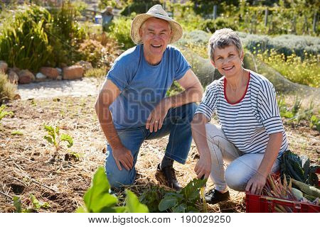 Portrait Of Mature Couple Harvesting Beetroot On Allotment