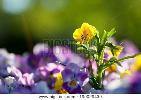 Pansies with purple and yellow shades