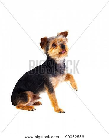 Cute small dog with cutted hair raising the leg isolated on a white background