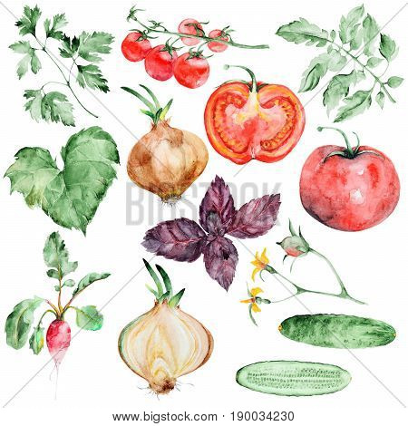 Watercolor vegetables set isolated on white background. Hand drawn watercolor Fresh vegetables and herbs. Perfect for design menu or shelves of market.