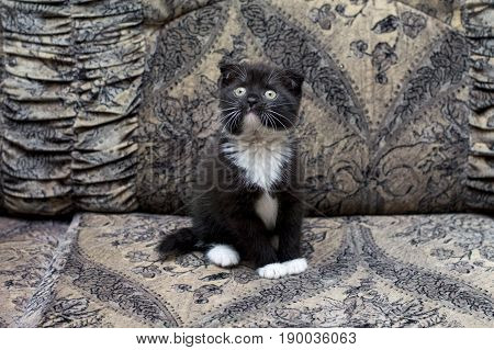 beautiful bicolor Scottish kitten sitting on the couch the theme of beautiful kittens and cats