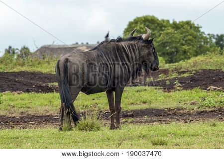Lone wildebeest grazing in nature reserve against overcast sky in South Africa