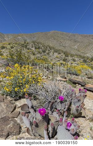 Cacti And Wildflowers Blooming In A California Desert In Spring