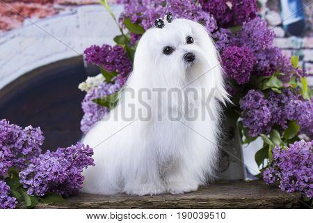 maltese in long hair, White lapdog, French lapdog