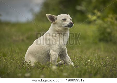 Small dog sitting in the grass with a very careful proud and imperfect look in attack position.