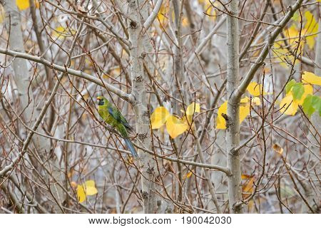 Green rosella, Tasmanian rosella parrot bird with yellow head, red band above beak, blue cheeks perching in forest in Tasmania, Australia (Platycercus caledonicus)