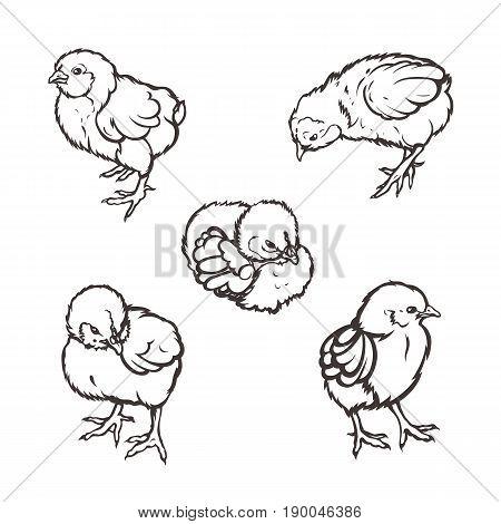 Little chicken. Poultry. Farming. Livestock raising. Hand drawn. Vector illustration.