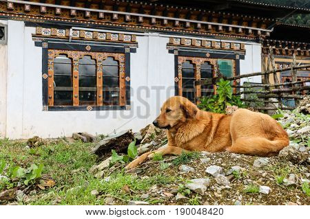 Brown stray dog lying on the floor near a building in a Bhutanese village