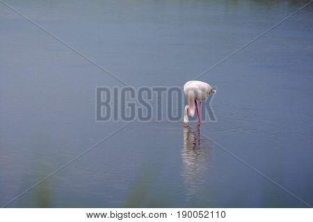 Rose Flamingo In Swamp