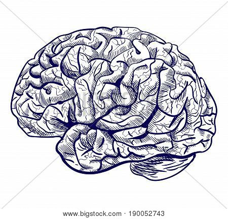 Brain sketch. VECTOR blue hand drawn human brain isolated on white