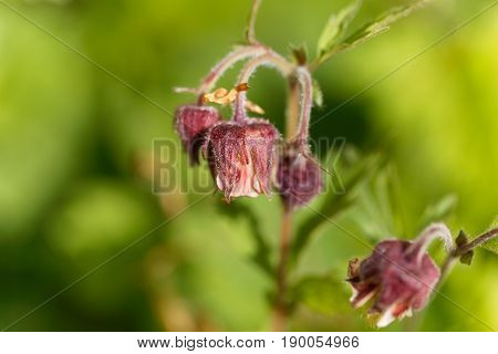 Flowers of a water avens (Geum rivale)