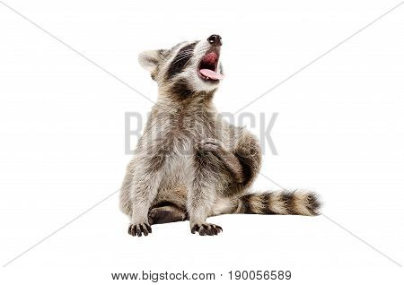 Portrait of funny yawning raccoon, sitting isolated on white background