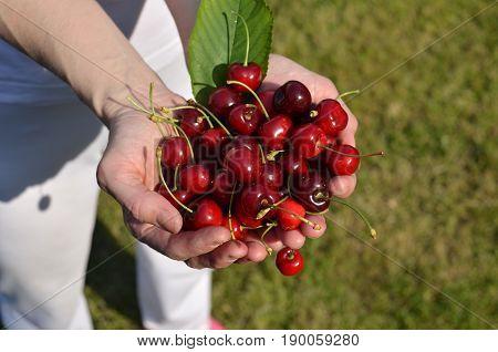 Palms Of Fresh Cherries