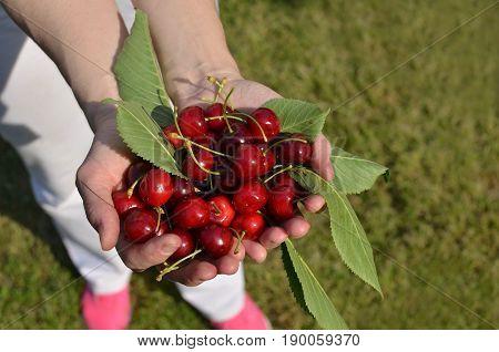 Palms Full Of Cherries
