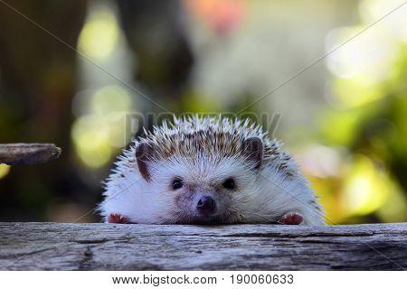 Young hedgehog in natural habitat ,Hedgehog  bokeh  background
