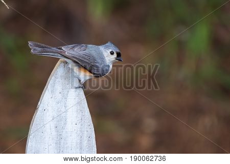 Tufted titmouse bird perched on a white wooden fence post