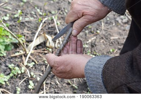 Old Man Hands Grafting Fruit Trees Step by Step. Grafting Trees - How to Graft a Tree.