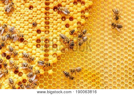 Larvae Of Bees In The Combs.