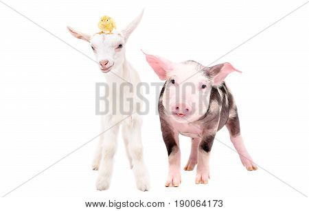 Little pig and goat with a chick on his head, standing together, isolated on white background