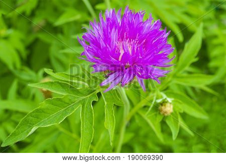 pink milk thistle flower close up shallow dof. milk thistle flower. milk thistle