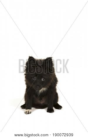 Little toy dog puppy isolated on white background