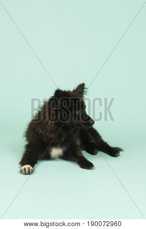 Little toy dog puppy isolated on green background