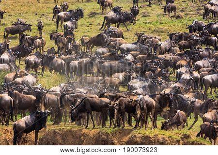 Herds of herbivores on the banks of the Mara River. Kenya, Africa
