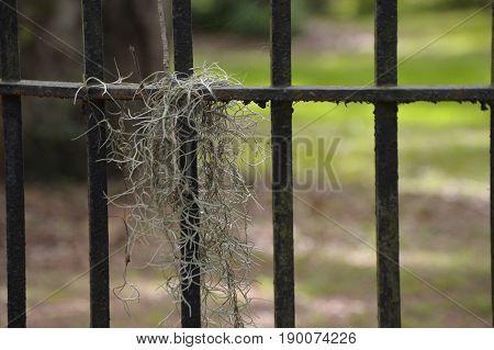 Spanish moss on black wrought iron fence
