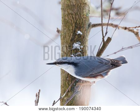 Eurasian Nuthatch Sitting On Branch