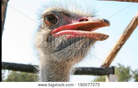 ostrich bird head close up ostrich farm tunis