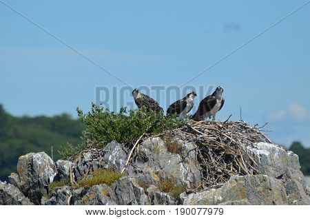 Ospreys on a nest in coastal Maine in Casco Bay.