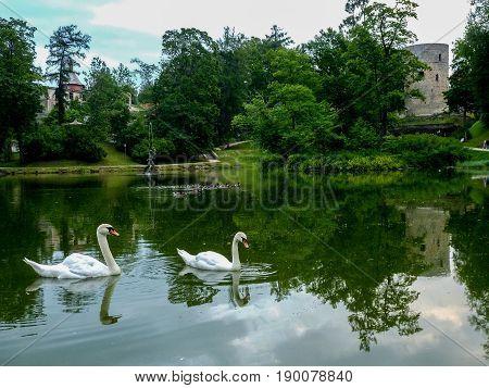 swan family swiming on lake Latvia summer