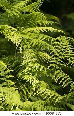Green Fern leaf fronds under the sun