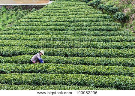 Farmer On Tea Plantation In Chengyang Village
