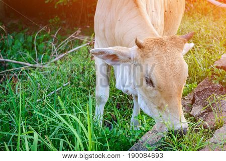 Cows Eat Grass Side The Street