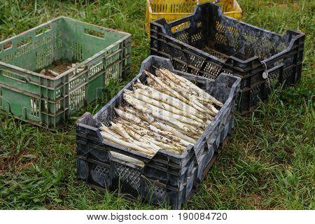 Cultivation process Asparagus plants / Asparagus cultivation