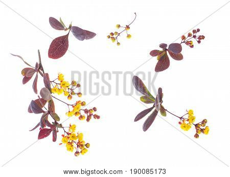 Flowering twigs of barberry red on white. Studio Photo